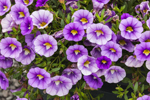 Close Up of Colorful Purple and White Petunias, Gilford, NH