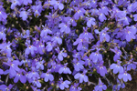 Close Up of Deep Blue Lobelia Flowers in Full Bloom, Gilford, NH