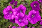 Close Up of Colorful Pink Petunias, Gilford, NH