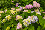 Colorful Bigleaf Hydrangea Bushes in Bloom at Watch Hill Inn, Watch Hill, Westerly, RI