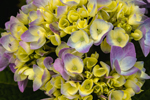Close Up of Bigleaf Hydrangea Blossoms at Watch Hill Inn, Watch Hill, Westerly, RI