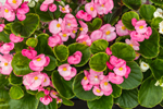 Close Up of Pink Begonias in Full Bloom, Watch Hill, Westerly, RI