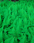 Hayscented Ferns