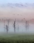 Old Dead Snags in Wetlands Shrouded by Early Morning Ground Fog at Sunrise, Fitzwilliam, NH