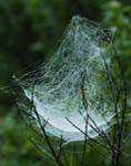 Basket Spider Web in Early Morning, Birch Hill Recreation and Wildlife Management Area, Winchendon, MA