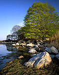 Norway Maple on Shoreline, Bay Side of Pine Island