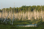 Early Morning Light on Old Snags in Swamp, T2R9 WELS, ME