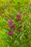 Common Milkweed at Stump Pond Wildlife Management Area (aka Bauds Pond), New Vineyard, ME