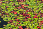 Close up of Pond Lilies on Beaver Pond in Early Morning Light, Rangeley Lakes Region, Township D, ME