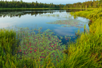 Grasses, Sedges, and Pond Lilies in Early Morning Light on Beaver Pond, Rangeley Lakes Region, Township D, ME