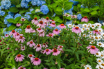 Purple Coneflowers, Daisies, and Blue Hydrangeas in Bloom at Hartford Park, Martha's Vineyard, Oak Bluffs, MA