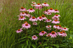 Purple Coneflowers in Grasses, Martha's Vineyard, West Tisbury, MA
