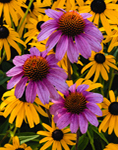 Purple Coneflowers and Black-eyed Susans in Country Garden, Martha's Vineyard, Tisbury, MA