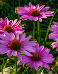 Early Morining Light Shines on Purple Coneflowers in Country Garden, Martha's Vineyard, Tisbury, MA