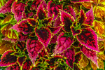 Close Up of Coleus Leaves, Martha's Vineyard, Edgartown, MA