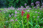 Grasses, Cardinal Flowers and Joe-pye Weed in Bloom along Millers River near Bearsden Conservation Area, Athol, MA