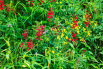 Cardinal Flowers along North Branch Millers River, Rindge, NH