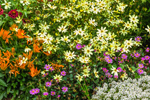 Colorful MIx of Flowers in Country Garden, Bass Harbor, Tremont, ME