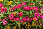 Pink Zinnias in Country Garden, Bass Harbor, Tremont, ME