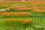 Orange-colored Reeds in Marsh at The Tarn near Dorr Mountain, Acadia National Park, Bar Harbor, ME