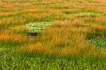 Orange-colored Reeds in Marsh at The Tarn near Dorr Mountain, Acadia National Park, Bar Harbor, ME