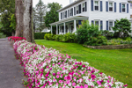Stone Wall Covered with Petunias, Mount Desert Island, Somesville, Mount Desert, ME