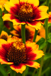 Close Up of Mexican Zinnias in Butterfly Gardens at Charlotte Rhoades Park, Mount Desert Island, Southwest Harbor, ME
