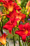 Colorful Day Lilies in Butterfly Gardens at Charlotte Rhoades Park, Mount Desert Island, Southwest Harbor, ME