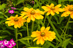 "Rudbeckia ""Prairie Sun"" in Butterfly Gardens at Charlotte Rhoades Park, Mount Desert Island, Southwest Harbor, ME"