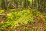 Sphagnum Mosses and Swamp in Forest on Western Mountain, Acadia National Park, Seal Cove, Tremont, ME
