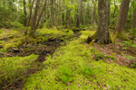 Intermittent Stream through Mossy Forest on Western Mountain, Acadia National Park, Seal Cove, Tremont, ME