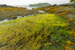 Seaweed at Low Tide at Little Harbor Brook, Mount Desert, ME