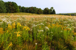 Field of Wild Asters and Goldenrods, Mount Desert Island, Mount Desert, ME