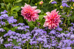 "Dahlia ""Otto's Thrill"" and Ageratum in Bloom at Thuya Gardens, Northeast Harbor, Mount Desert, ME"