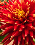 "Close Up of Dahlia ""Show and Tell"" at Thuya Gardens, Mount Desert Island, Northeast Harbor, Mount Desert, ME"