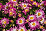 Close Up of Colorful Chrysanthemums, Brooklyn, CT
