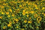 Fields of Sunflowers in Full Bloom, Waterbury, VT