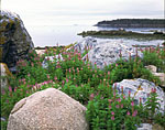 Wildflowers among Boulders, Moore Harbor, Isle Au Haut
