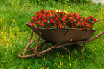 Old Wheelbarrow Filled with Begonias, Duiton Farm Stand, Newfane, VT