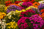 Close Up of Colorful Chrysanthemums at Duiton Farm Stand, Newfane, VT