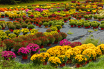 Colorful Chrysanthemums at Duiton Farm Stand, Newfane, VT