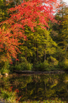 Sun Shines on Red Maple Tree along Shoreline of Laurel Lake near Warwick State Forest, Warwick, MA