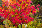Close Up of Small Red Maple Tree with Fall Foliage near Mooselookmeguntic Lake, Rangeley Lakes Region, Rangeley Plantation, ME