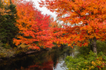Brilliant Red Maple Trees in Fall along Black Brook, Andover, ME