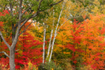 Colorful Fall Foliage with White Birch and Oak Tree Trunks, White Mountain National Forest, Gilead, ME