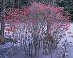 Winterberry, Birch Hill Wildlife Area