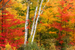 Colorful Fall Foliage with White Birch Tree Trunks, White Mountain National Forest, Gilead, ME