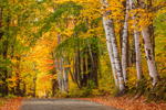White Birch Trees with Colorful Foliage along Country Road in Fall, White Mountains Region, Sugar Hill, NH