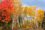 The Shelburne Birches in Fall, Shelburne Birches Memorial Park, White Mountains Region, Shelburne, NH