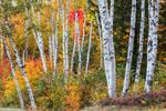 The Shelburne Birches in Fall, Shelburne Birches Memorial Park, White Mountains Region, Shelburne, NH